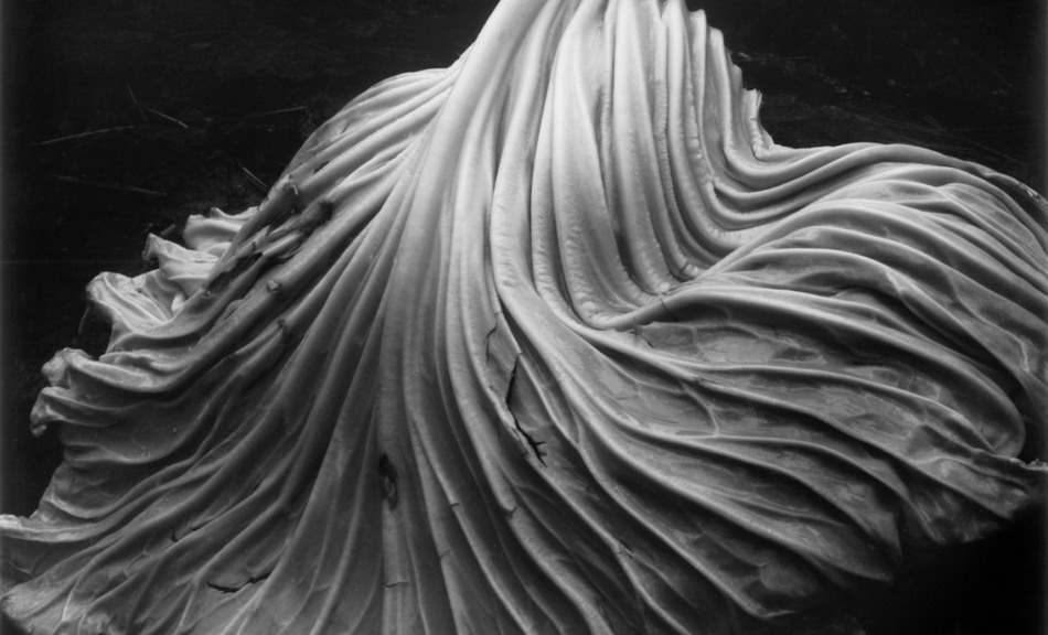 Edward Weston, Cabbage Leaf (39V), 1931 © Center for Creative Photography, Airzona Board of Regents